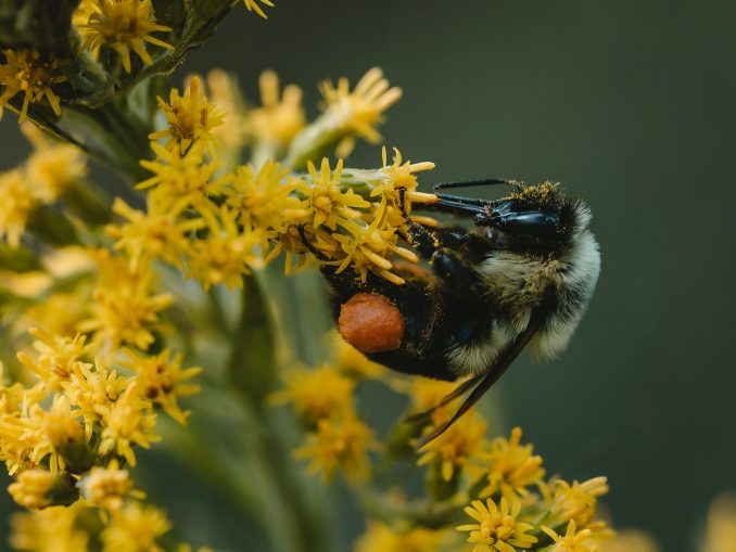 Une abeille qui pollinise
